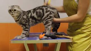 Cat combing and cleaning ears  Scottish Fold