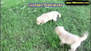 Golden Retriever, Puppies, For, Sale, In, Gresham, Oregon, County, Or, Multnomah, Washington, Clacka