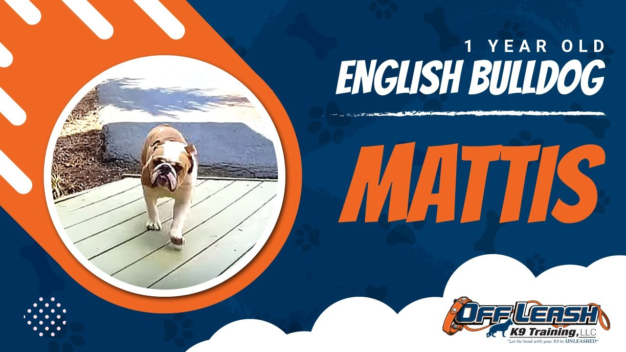 English Bulldog, Mattis! Off Leash English Bulldogs | Electronic Collar  Trained Bulldogs Virginia