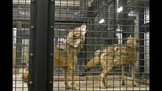 オオカミたちの食事~遠吠え(多摩動物公園)Wolves to eat~Howling