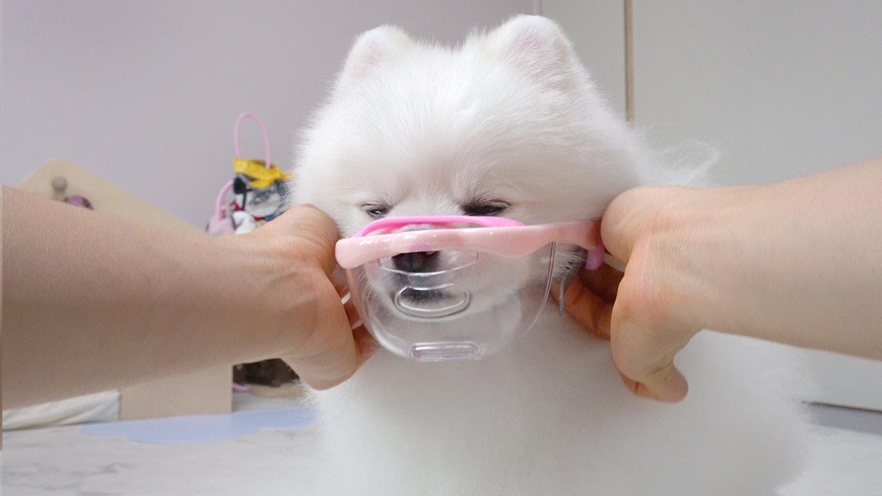 스스로 입마개 할 줄 아는 아주 기특한 강아지 !!