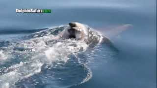 Grieving Dolphin Carries Dead Calf Around For Days, Seen During Dana Point Whale Watching Safari thumbnail