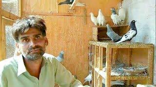 Pigeon Farming in Pakistan||Pigeon Farming Business||Kabutar Farming||Birds Farming ||Profit Info