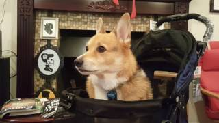 Corgi barely fits in stroller | irk
