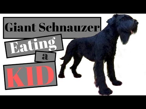 Giant Schnauzer eating a KID !!! - BlackDogProduction
