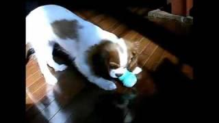 2010年1月に我が家に来たキャバリアの「まろん」(♀)、3ヶ月です。時折映...