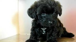 【トイプードルxヨークシャー・テリア】この2犬種のMIXちゃんはそ...