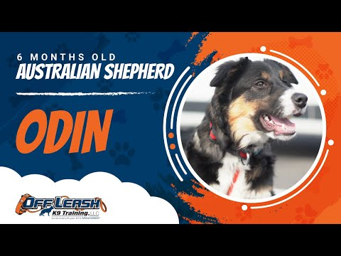 Australian Shepherd/ six months old/Odin Northern Virginia trained/Danny walker trainer