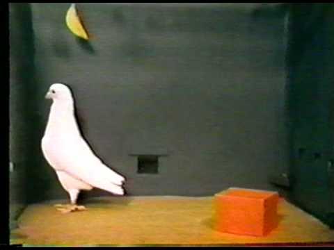 BF Skinner Foundation - Pigeon & Red Block