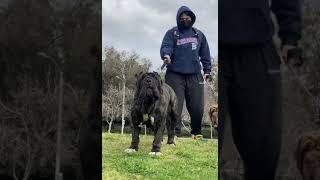 Neapolitan Mastiff Guarding