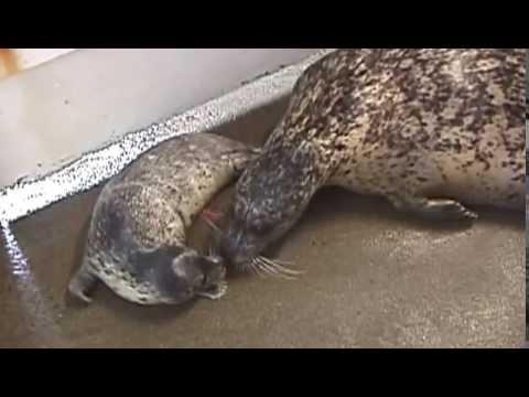 2nd Seal Born At Seaside Aquarium