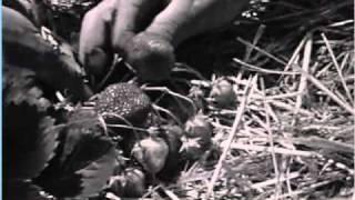 fete des fraises carros 21 05 1968