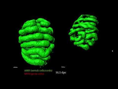 Tienen Las Células Germinales Más Funciones Que Sólo Transmitir La Información Genética