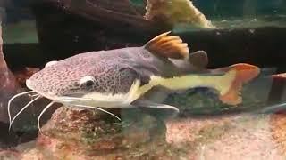 Aquário jumbo Olha o tamanho desses monstros! Tem tucunaré, Aruanã, peixe Jacaré, Pirarara e outros!