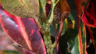 Croton Scale Attacking More than 70 Plants