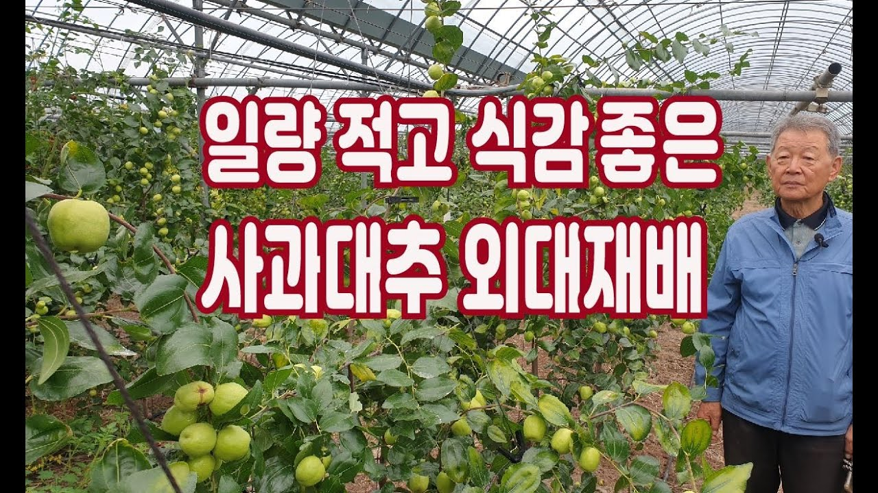 첫해부터 외대재배 올인 3년차 사과대추현황(1,2,3년생 혼재)