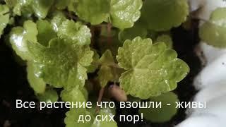 Как посадить мяту семенами, уход/ Мой  опыт