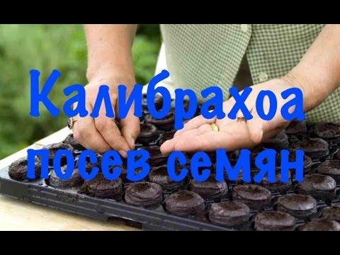 выращивание калибрахоа фото