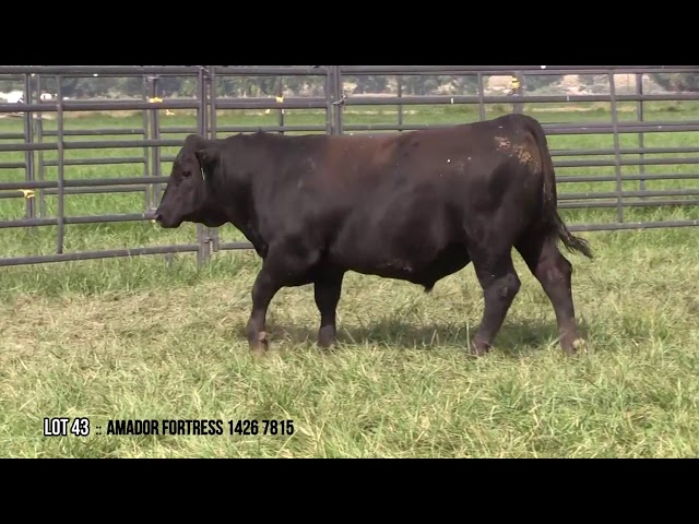 Mid Valley Bull Sale Lot 43