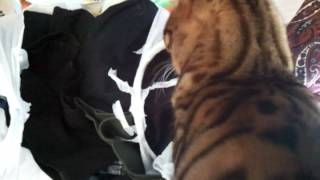 Bengal cat makes chirping noise