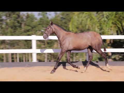 Lote 20 - Pintura Aguilar - Cavalos puro sangue Lusitanos - Coudelaria aguilar