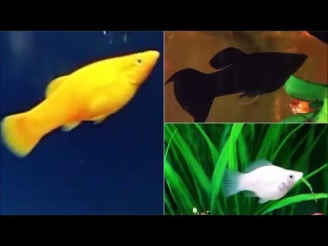 Molly Fish Compatible Tank Mates - What Fish Can You Have With Mollies.