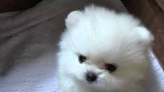 White Pomeranian 6 Week