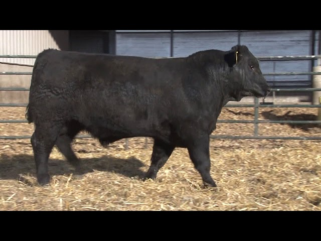 Schiefelbein Angus Farms Lot 199