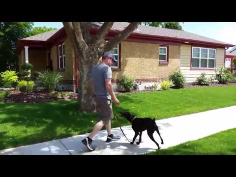 How to train loose leash walking   German Short Haired Pointer   Salt Lake City   Dog Training