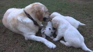 Cute Labrador / Golden Retriever Puppies Playing With Mom (yellow Labrador)