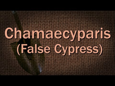 Chamaecyparis (False Cypress) – Family Plot