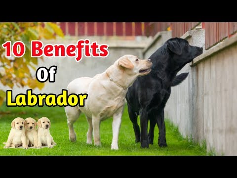 10 Benefits Of Labrador / In Hindi / benefits of Labrador retriever
