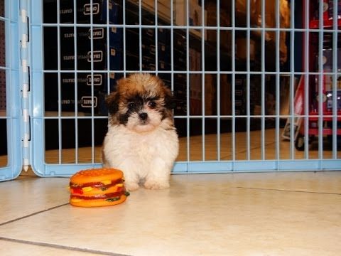 Shichon Puppies Dogs For Sale In Nashville Tennessee