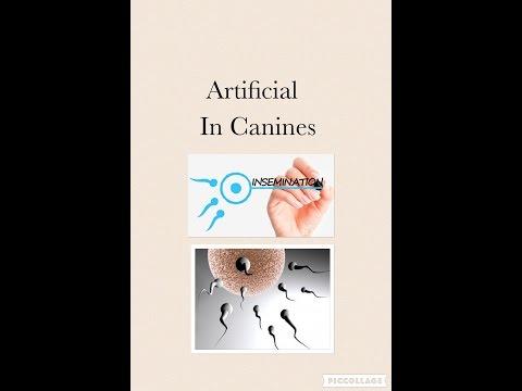 Canine Artificial Insemination On A German Shepherd Dog WDR K9 Www.wolvesdenranch.com