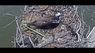 Preview of stream Smallwood State Park Osprey Cam
