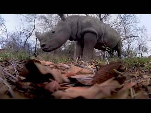 Racing Extinction 360 Video Rhinos