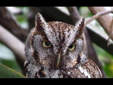 eastern screech owl courtship calls - youtube