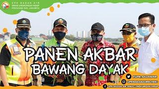 Panen Akbar Bawang Dayak di Sungai BKT Kelurahan Rorotan Kecamatan Cilingcing Jakarta Utara.