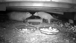 WHITE OPOSSUM - Rare leucistic female Virginia opossum (Didelphis virginiana) 05-20-2015