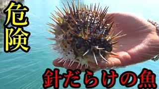#1 素手で触ると危険(?)な全身針だらけの魚が釣れた!!