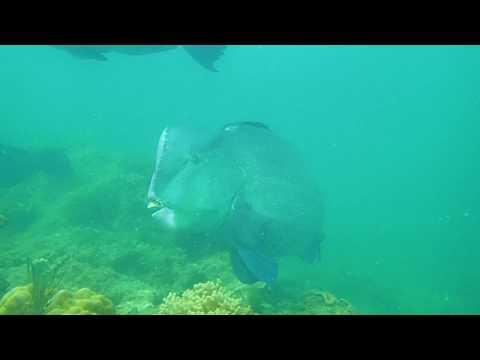 Bumphead Parrot Fish In Tioman Island Malaysia