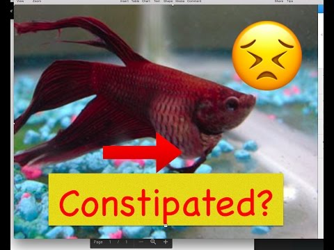 how to fix constipation in bettas bettas 4 life youtube