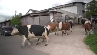 Des vaches sauvées de l'abattoir ...
