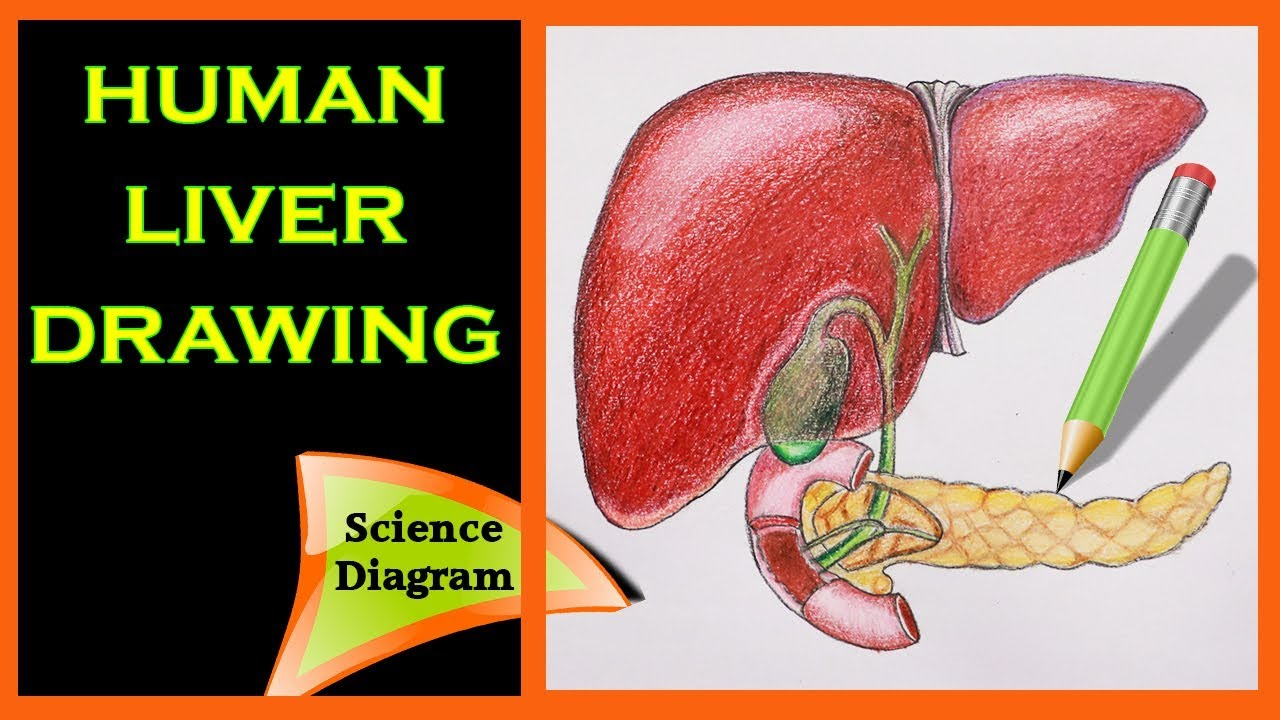 how to draw the human liver the human liver easy draw tutorial science diagram biology [ 1280 x 720 Pixel ]