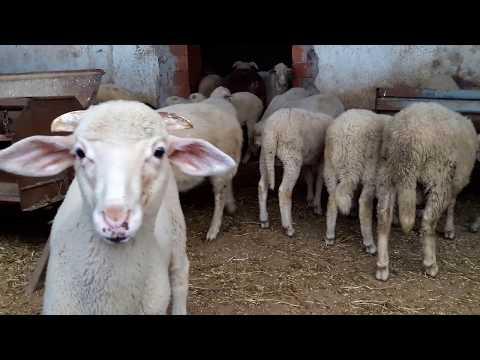 Sheeps /Bleat
