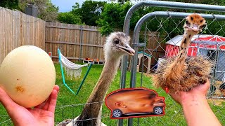 Saving a Baby Ostrich From Euthanasia (Kevins MAD) *gone sussy 😳*