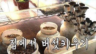 [벌러지닷컴]집에서 손쉽게 버섯을 키워보세요~! 느타리…