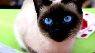 Порода кошек. Тайская кошка.Есть небольшая схожесть на сиамских.