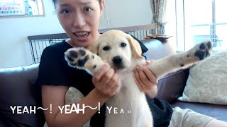 NANA the yellow lab just became one of our family members, born in ...