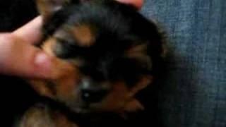 Yorkie Terrier Puppy Age 4 Weeks